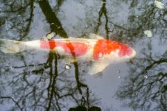 Koi carp in the pond. Red and white koi carp spinning in the pond stock photography