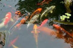 Koi carp pond with rocks and plants. Koi meaning `carp`, or more specifically nishikigoi, literally `brocaded carp`, are colored varieties of Amur carp Cyprinus Royalty Free Stock Photos
