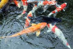 Koi Carp. In pond temple grounds Japan Stock Photography
