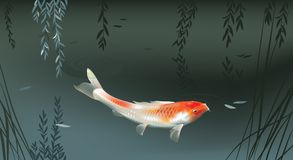 Koi carp in pond Stock Image
