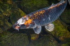 Koi Carp som simmar i en sj? fotografering för bildbyråer