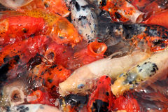 Koi carp swarming in the garden pond, china Royalty Free Stock Images