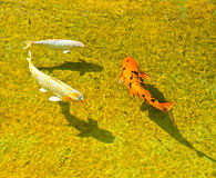 Koi Carp Swimming. White and orange Koi Carps are swimming Royalty Free Stock Images