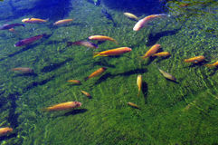 Koi carp swimming in shallow pool Stock Photo