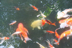 Koi carp swimming Royalty Free Stock Photography