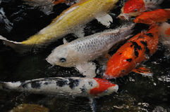 Koi Carp, symbols of good luck and prosperity. Japanese Koi (carp) swim in a group in a pond. and it also symbols of good luck and prosperity in Japan Royalty Free Stock Photos