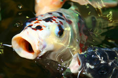 Koi carp. Symbols of good luck and prosperity in Japan Stock Images
