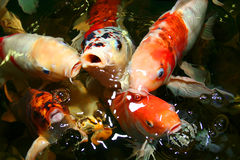 Koi carp. Symbols of good luck and prosperity in Japan Royalty Free Stock Image