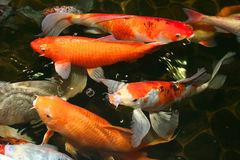 Koi carp. Symbols of good luck and prosperity in Japan Royalty Free Stock Photos