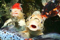 Koi carp. Symbols of good luck and prosperity in Japan Stock Photos
