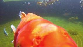 Koi carp under water. Underwater view of Koi fish swimming on surface pond in japanese garden stock video