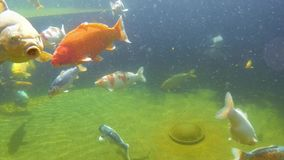 Koi carp under water. Underwater view of Koi fish swimming on surface pond in japanese garden stock video footage