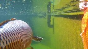 Koi carp under water stock video