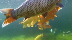 Koi carp under water stock video footage