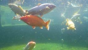 Koi carp under water. Underwater view of Koi fish swimming on surface pond in japanese garden stock footage