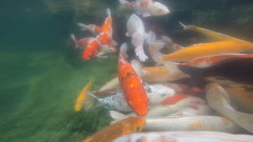 Koi carp underwater shoot stock footage