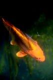 Koi Carp-vissen Stock Foto's