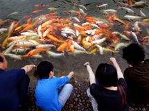Koi Carp watchers. Stock Photography