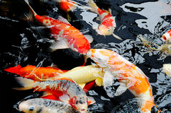 Koi Carps. Swimming In The Pond Royalty Free Stock Images