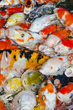 Koi carps. Crowding together competing for food Royalty Free Stock Image