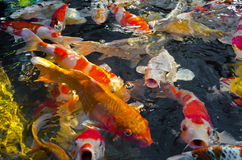 Koi carps. Crowding together competing for food Royalty Free Stock Photos
