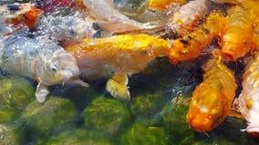 Koi Carps colorido na lagoa video estoque