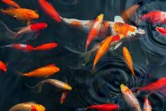 Koi Carps Fish Japanese-het zwemmen stock foto