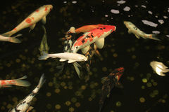 Koi Carps Stock Image