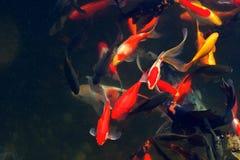 Koi Carps Fish Japanese swimming (Cyprinus carpio) Stock Photos