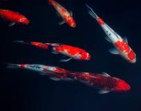 Koi Carps Fish Japanese swimming (Cyprinus carpio) beautiful color variations natural organic. Animal  aquarium Royalty Free Stock Image