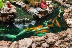 Koi Carps Fish simning i dammet på Wat Borom Raja Kanjanapisek W Fotografering för Bildbyråer