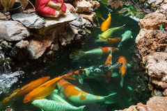 Koi Carps Fish simning i dammet på Wat Borom Raja Kanjanapisek W Royaltyfri Bild