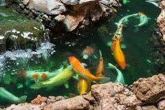 Koi Carps Fish simning i dammet på Wat Borom Raja Kanjanapisek W Arkivbild