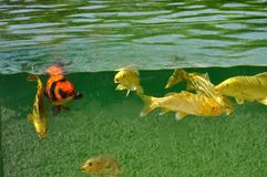 Koi carps in pond. Food nature coulored color fish day outdoors water vertebrate animal stock images