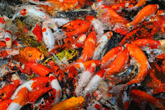Koi Carps In The Pond Royalty Free Stock Photography