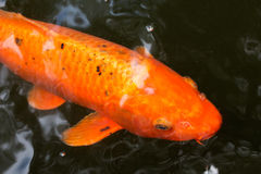 Koi carps in a pond Royalty Free Stock Photo