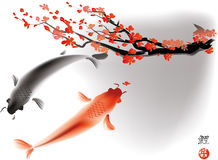 Koi carps and sacura branch Stock Images