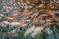 Koi carps swarms that swimming in pond royalty free stock image