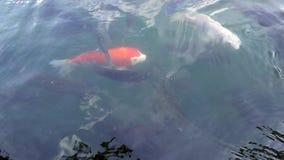 Koi Carps Swimming japonais dans l'étang Bali, Indonésie 4K banque de vidéos