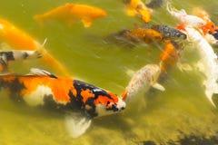 Koi carps swimming Stock Photos