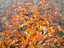 Koi carps together competing for food Stock Image