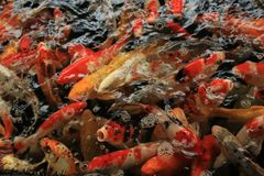 Koi Carps. In various colors and sizes in a fish pond Royalty Free Stock Photography