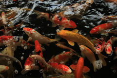 Koi Carps. In various colors and sizes in a fish pond Royalty Free Stock Image