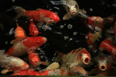 Koi Carps. In various colors and sizes in a fish pond Stock Photography