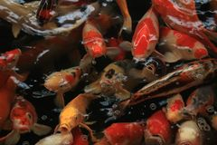 Colorful Koi Carps. Koi Carps in various colors and sizes in a fish pond Royalty Free Stock Images