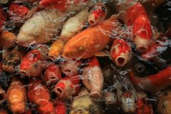 Colorful Koi Carps. Koi Carps in various colors and sizes in a fish pond Royalty Free Stock Photo