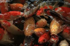 Colorful Koi Carps. Koi Carps in various colors and sizes in a fish pond Stock Photo