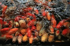 Colorful Koi Carps. Koi Carps in various colors and sizes in a fish pond Stock Photos