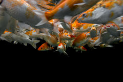 Koi che nuota underwater Fotografie Stock