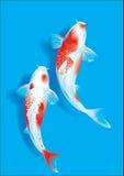 Koi couple on blue Royalty Free Stock Photo